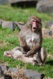 Affen des Mutter-und Baby Makaken-(Schnee) in der Weichzeichnung Stockfotos