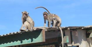 Affen, die auf dem Dach sitzen Stockfotos