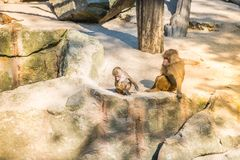 Affen, die auf den Felsen sittting sind Stockfotos