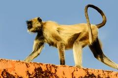 Affen, die auf der Wand in Jaipur sitzen Stockfoto