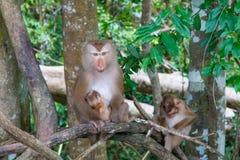 Affen, die auf einem Baumast spielen Lizenzfreie Stockbilder
