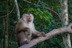 Affen, die auf einem Baumast spielen Stockfotografie