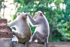 Affen, die auf Flöhen und Zecken auf konkretem Zaun überprüfen Lizenzfreies Stockfoto