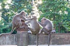 Affen, die auf Flöhen und Zecken auf konkretem Zaun im PA überprüfen Stockfoto