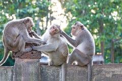 Affen, die auf Flöhen und Zecken auf konkretem Zaun im PA überprüfen Lizenzfreies Stockfoto