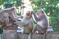 Affen, die auf Flöhen und Zecken auf konkretem Zaun im PA überprüfen Lizenzfreie Stockfotos