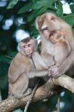 Affen, die auf Flöhen und Zecken auf konkretem Zaun im PA überprüfen Lizenzfreies Stockbild