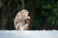 Affen, die auf Flöhen und Zecken auf konkretem Zaun im PA überprüfen Lizenzfreie Stockfotografie