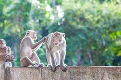 Affen, die auf Flöhen und Zecken auf konkretem Zaun im Park überprüfen Stockfotografie