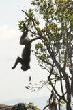 Affen, die Busch am Preah- Viheartempelkomplex des 11. Jahrhunderts spielen Stockfotos