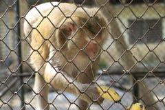 Affen, die in einen Käfig zugeschlossen werden, essen Bananen lizenzfreie stockbilder