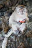 Affen, die Früchte auf Affe-Strand, Phi Phi Don-Insel essen Lizenzfreie Stockfotografie