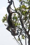 Affen, die im Busch im Boden des Preah- Viheartempelkomplexes des 11. Jahrhunderts kämpfen Lizenzfreies Stockbild