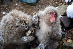 Affen, die im Schnee sich pflegen Lizenzfreies Stockbild