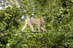 Affen, die im Wald leben Stockfoto