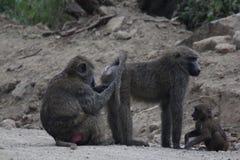 Affen, die Läuse auswählen Stockbilder