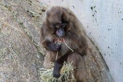 Affen, die mit unscharfem Hintergrund sitzen und essen Lizenzfreie Stockbilder