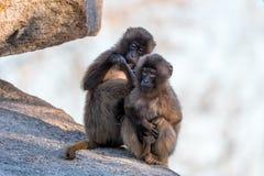 Affen, die mit unscharfem Hintergrund sitzen und essen Stockbilder