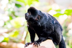 Affen, die mit unscharfem Hintergrund sitzen und essen Lizenzfreies Stockbild
