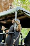 Affen, die nach Lebensmittel suchen Lizenzfreie Stockfotografie