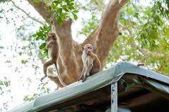 Affen, die nach Lebensmittel suchen Stockbild