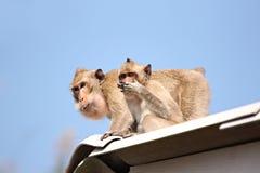 Affen, die Nahrungsmittel essen. Lizenzfreies Stockbild