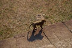 Affen, die um die Tempel in Angkor Wat wandern Stockfotos