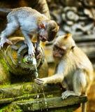 Affen in einem Steintempel. Bali-Insel, Indonesien Stockfotos