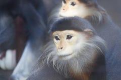 Affen in einem Zoo Stockfoto