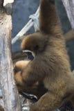 Affen in einem Zoo Stockbild