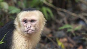Affen essen von den Händen stock footage
