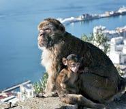 Affen Gibraltar-Barbary Stockbilder