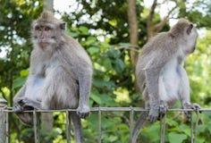 Affen am heiligen Affewald, Ubud, Bali, Indonesien Stockfotos