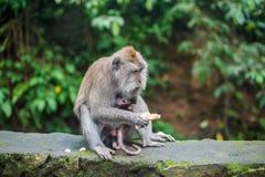 Affen im Affewald, Bali Lizenzfreie Stockfotos