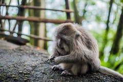 Affen im Affewald, Bali Lizenzfreie Stockbilder