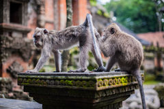 Affen im Affewald, Bali Lizenzfreie Stockfotografie
