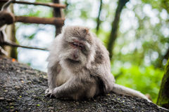 Affen im Affewald, Bali Stockfotografie
