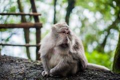 Affen im Affewald, Bali Lizenzfreies Stockfoto