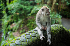 Affen im Affewald, Bali Stockbilder