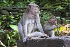 Affen im heiligen Affe-Wald Ubud Lizenzfreie Stockfotografie