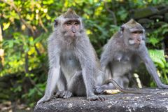 Affen im heiligen Affe-Wald Ubud Lizenzfreies Stockfoto