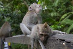 Affen im heiligen Affe-Wald Ubud Lizenzfreies Stockbild