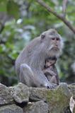 Affen im heiligen Affewald Ubud Bali Stockfoto