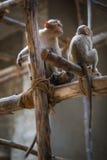 Affen Stockfoto
