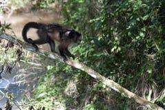 Affen im tropischen Wald in Nationalpark Iguazú Stockfotografie