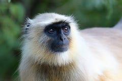 Affen im wilden in Indien Lizenzfreie Stockbilder