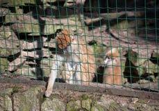 Affen im Zoo, Affe in einem Käfig lizenzfreies stockfoto