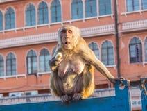 Affen in Jaipur Lizenzfreies Stockbild
