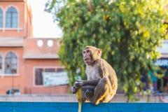 Affen in Jaipur Lizenzfreie Stockfotografie