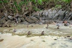 Affen leben auf Ufer in der Insel Stockfotos